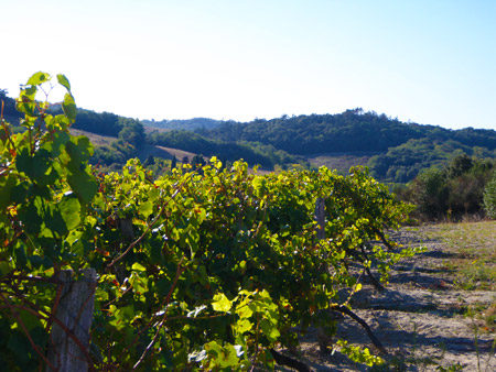 vigne-coteau-malepere
